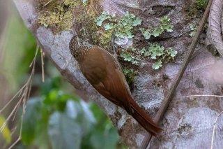 Olive-backed Woodcreeper - Xiphorhynchus triangularis