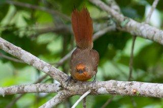 Orange-eyed Thornbird - Phacellodomus erythrophthalmus