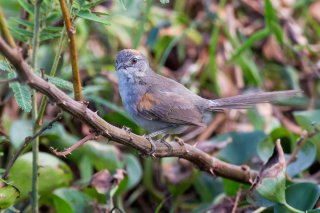 Pale-breasted Spinetail - Synallaxis albescens