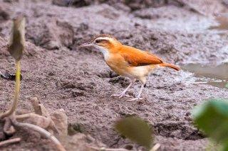 Pale-legged Hornero - Furnarius leucopus