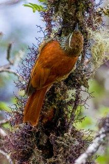 Pearled Treerunner - Margarornis squamiger