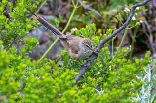 Plain-mantled Tit-Spinetail - Leptasthenura aegithaloides