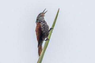 Point-tailed Palmcreeper - Berlepschia rikeri