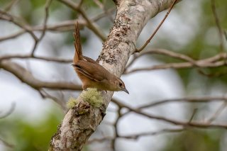 Rufous-fronted Thornbird - Phacellodomus rufifrons