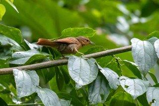Rufous-rumped Foliage-gleaner - Philydor erythrocercum