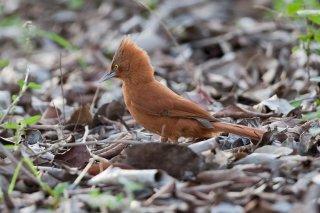 Rufous Cacholote - Pseudoseisura unirufa