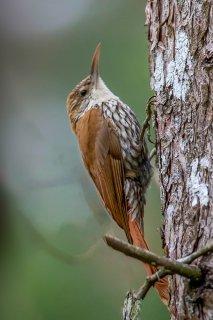 Scaled Woodcreeper - Lepidocolaptes squamatus