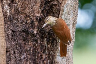 Straight-billed Woodcreeper - Dendroplex picus