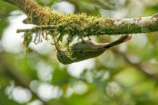 Streak-headed Woodcreeper - Lepidocolaptes souleyetii
