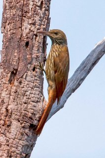 Striped Woodcreeper - Xiphorhynchus obsoletus