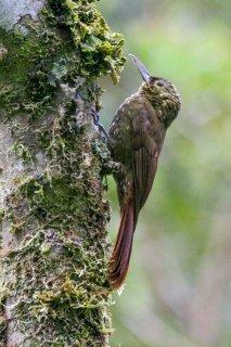 Tawny-winged Woodcreeper - Dendrocincla anabatina