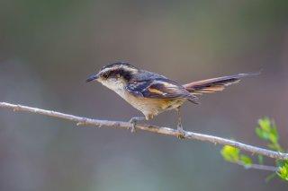 Thorn-tailed Rayadito - Aphrastura spinicauda