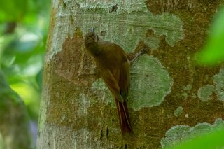 Wedge-billed Woodcreeper - Glyphorynchus spirurus