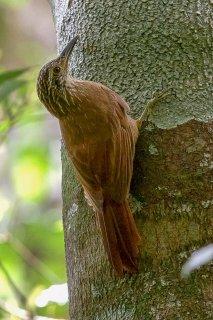 White-throated Woodcreeper - Xiphocolaptes albicollis