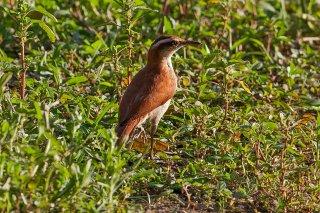 Wing-banded Hornero - Furnarius figulus