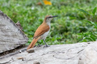 Yellow-chinned Spinetail - Certhiaxis cinnamomeus