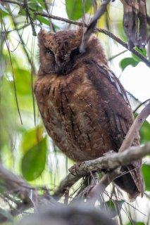 Madagascar_Scops_Owl.jpg