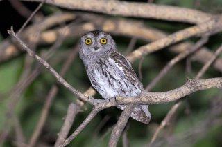 Pallid_Scops_Owl.jpg