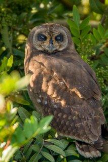 Marsh_Owl.jpg