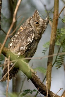 African_Scops_Owl.jpg