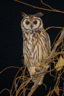 Striped_Owl.jpg