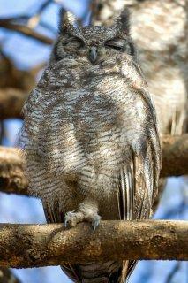 Greyish_Eagle_Owl.jpg