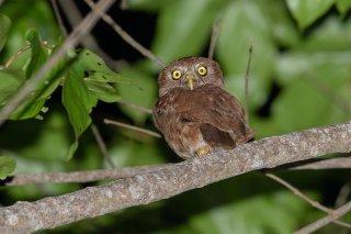 Ferruginous_Pygmy-Owl.jpg