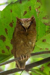 Serendib_Scops_Owl.jpg