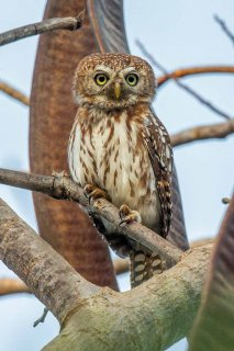 Pearl-spotted_Owlet.jpg