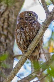 Austral_Pygmy_Owl.jpg