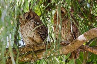 Tropical_Screech_Owl.jpg