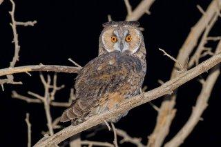 Short-eared_Owl.jpg