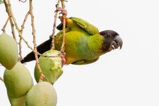 Black-hooded Parakeet - Aratinga nenday