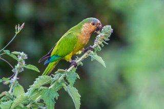 Brown-throated Parakeet - Eupsittula pertinax