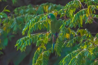 Chestnut-fronted Macaw - Ara severus