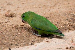 Dusky-billed parrotlet - Forpus modestus