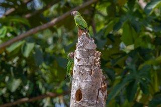 Dusky-headed Parakeet - Aratinga weddellii