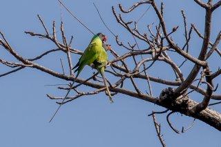 Grey-headed Parakeet - Psittacula finschii