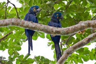 Hyacinth Macaw - Anodorhynchus hyacinthinus