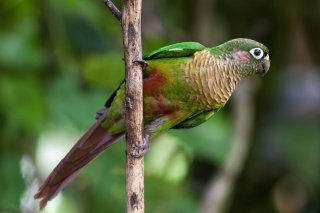 Maroon-bellied parakeet - Pyrrhura frontalis