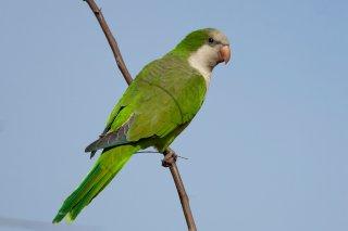 Monk Parakeet - Myiopsitta monachus-luchsi