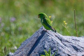Mountain Parakeet - Psilopsiagon aurifrons
