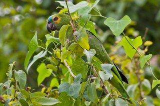 Orange-winged Parrot - Amazona amazonica