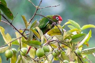 Rose-crowned Parakeet - Pyrrhura rhodocephala