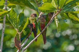 Santarem Parakeet - Pyrrhura amazonum