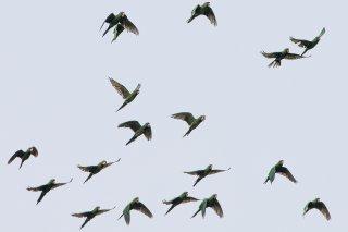 Scarlet-fronted Parakeet - Psittacara wagleri-frontatus