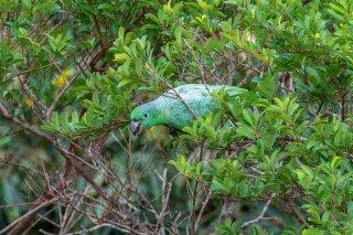 Southern Mealy Parrot - Amazona farinosa