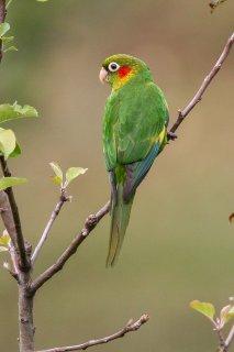 Sulphur-winged Parakeet - Pyrrhura hoffmanni