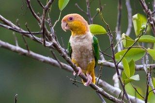 White-bellied Parrot - Pionites leucogaster