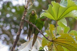 White-eyed Parakeet - Psittacara leucophthalmus